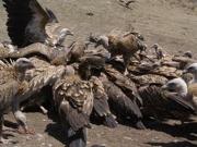 Vultures Fighting Over Flesh